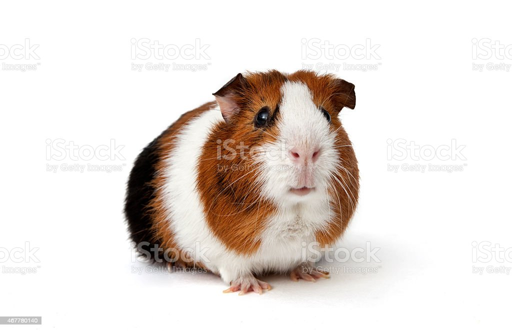 Guinea pig stock photo