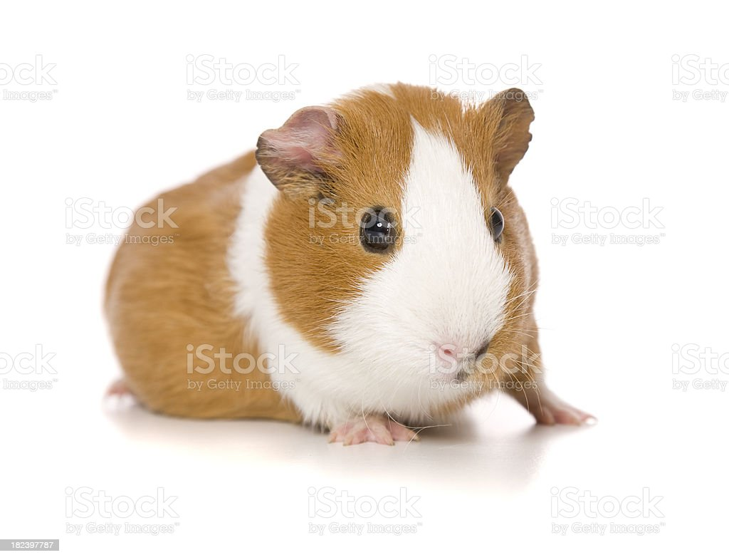 Guinea Pig Portrait stock photo