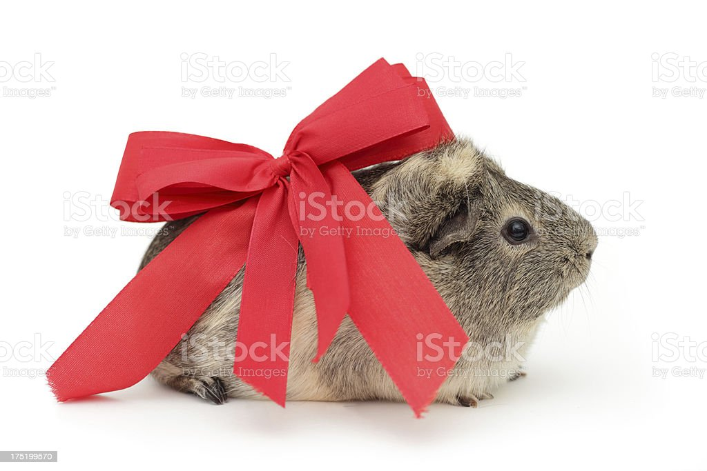 Guinea pig present with ribbon, isolated stock photo