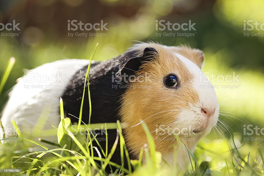 A guinea pig sitting on a grass stock photo