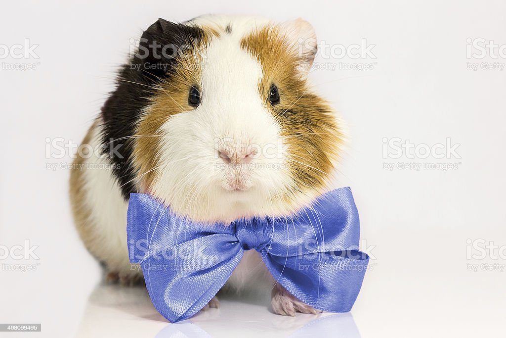 Guinea pig with a blue tie. stock photo
