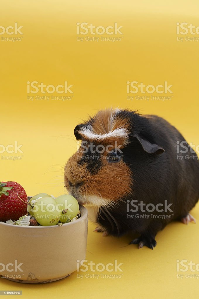 Guinea Pig with bowl - Strawberry royalty-free stock photo