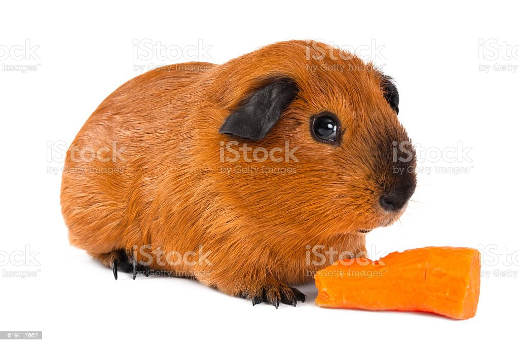 guinea pig with carrot on white background stock photo