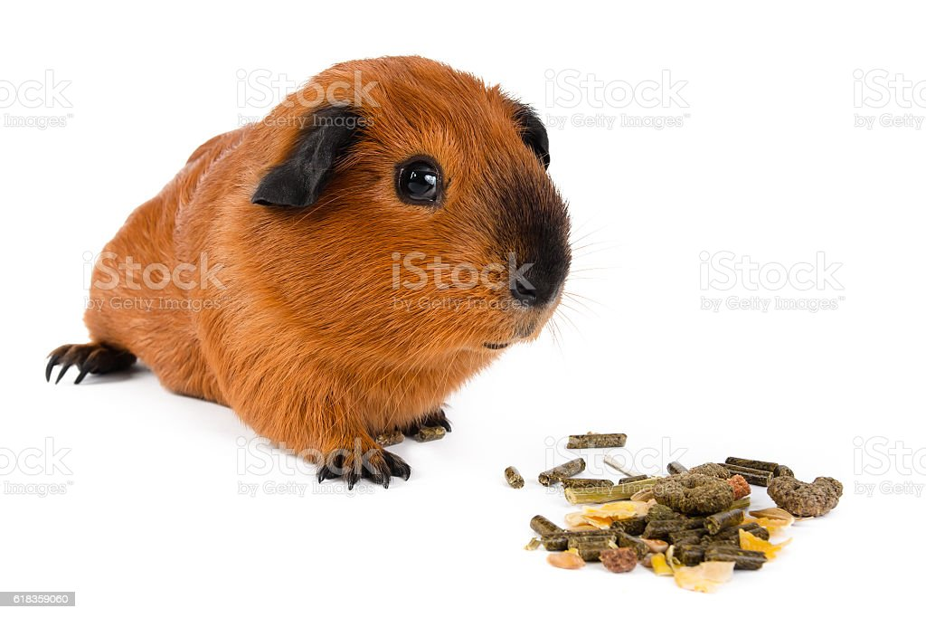 guinea pig with pet food on white background stock photo