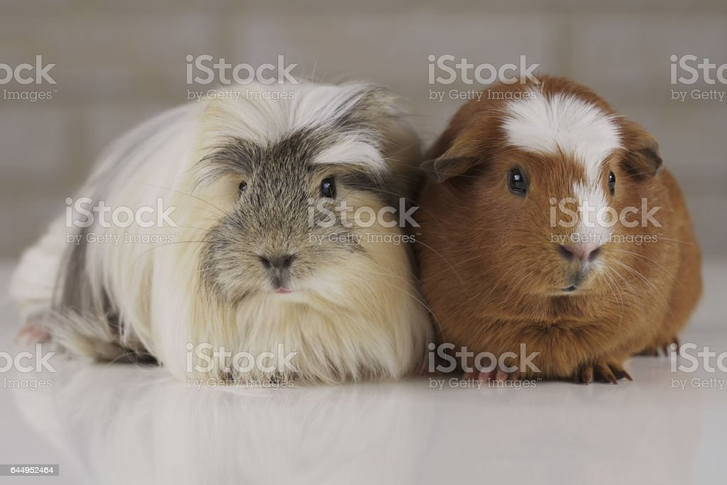 Guinea pigs breed Golden American Crested and Coronet cavy stock photo