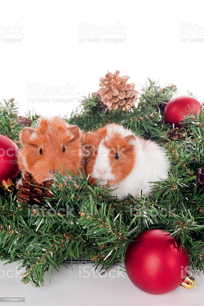 Guinea Pigs christmas wreath stock photo