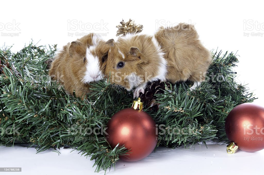 Guinea Pigs christmas wreath royalty-free stock photo
