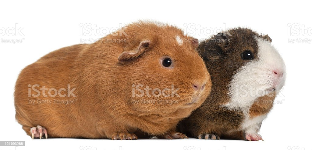 Guinea pigs, nine months old, white background. royalty-free stock photo