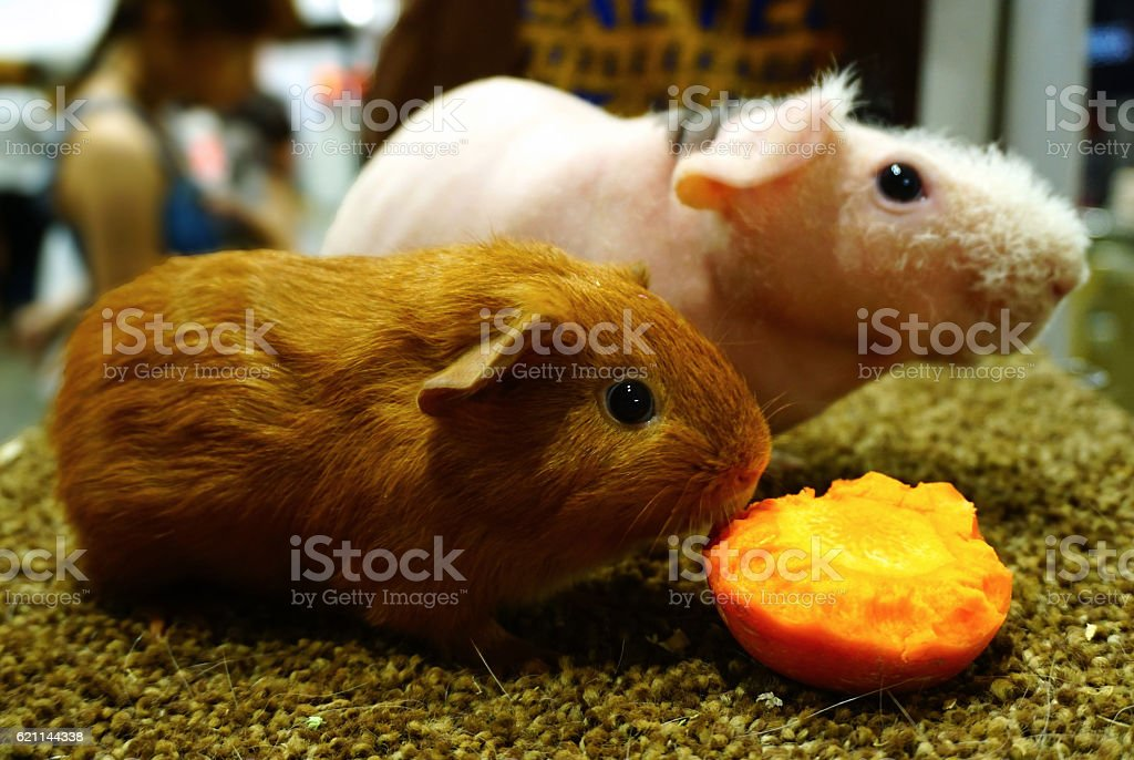guinea pigs with fresh carrot stock photo