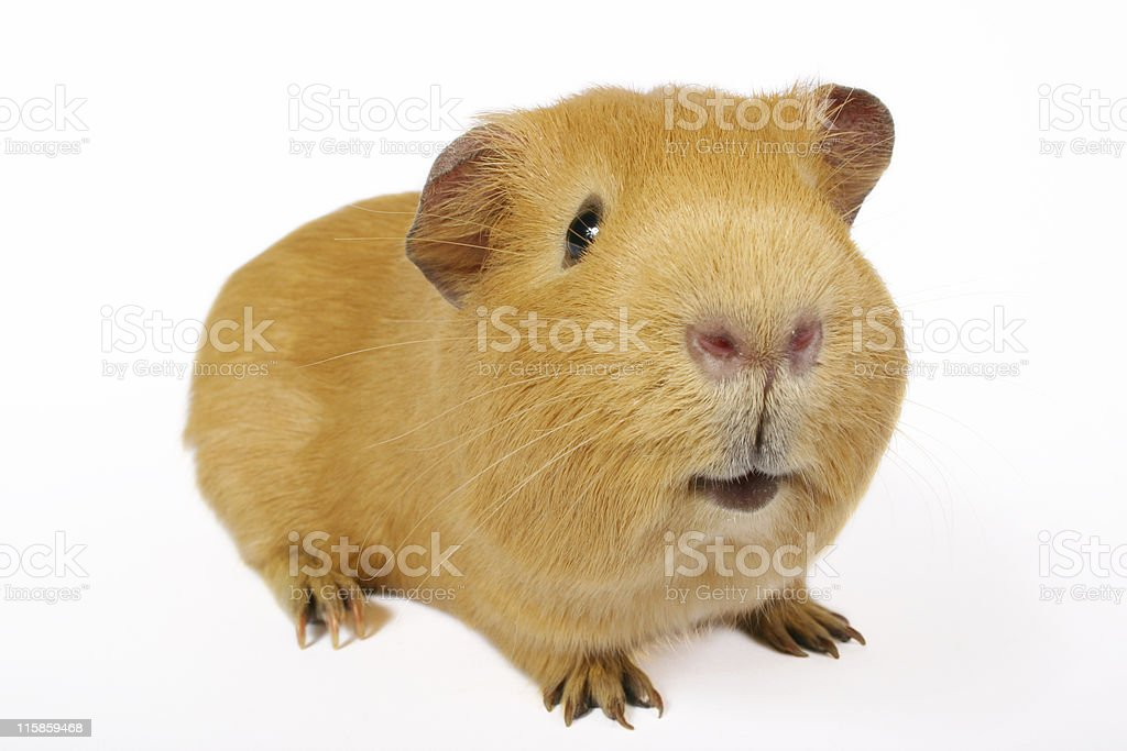 Guinea Smile stock photo