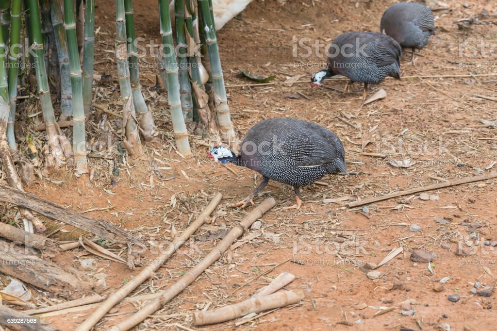 Guineafowl hens finding food stock photo