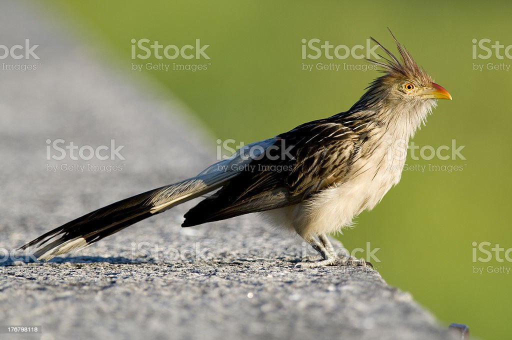 Guira Cuckoo royalty-free stock photo