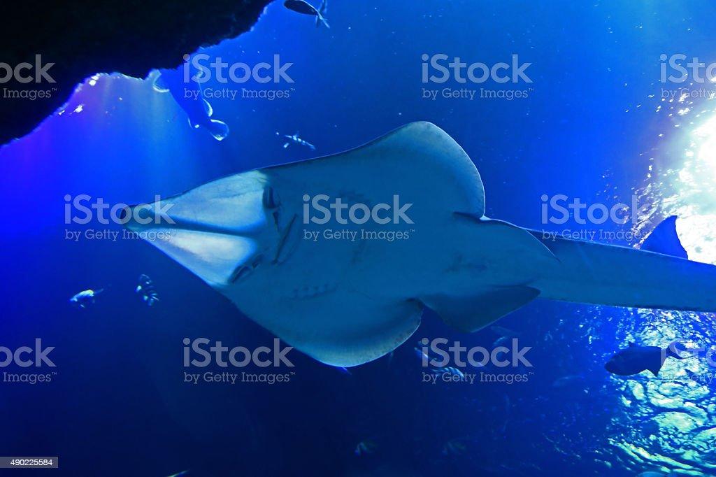 Guitarfish seen from below stock photo