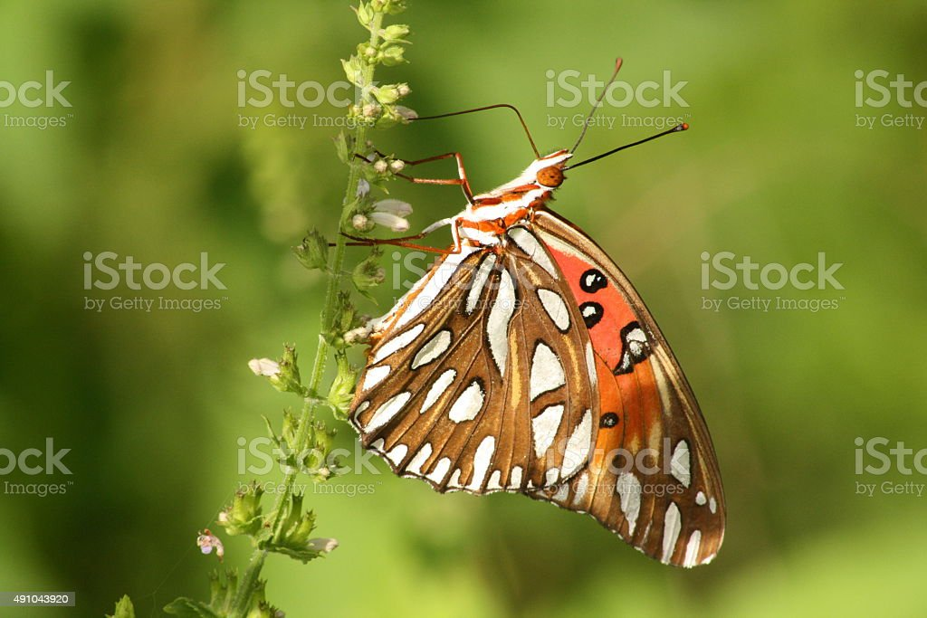 Papillon fritillaire vue sur le golfe photo libre de droits