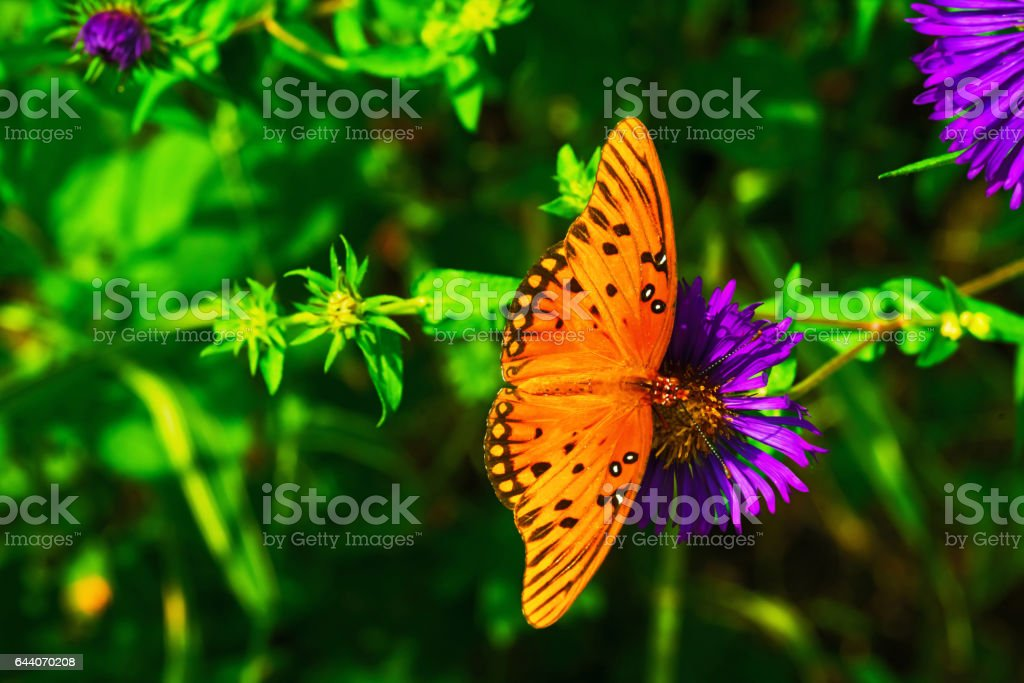 Gulf Fritillary Butterfly on a Purple Flower stock photo