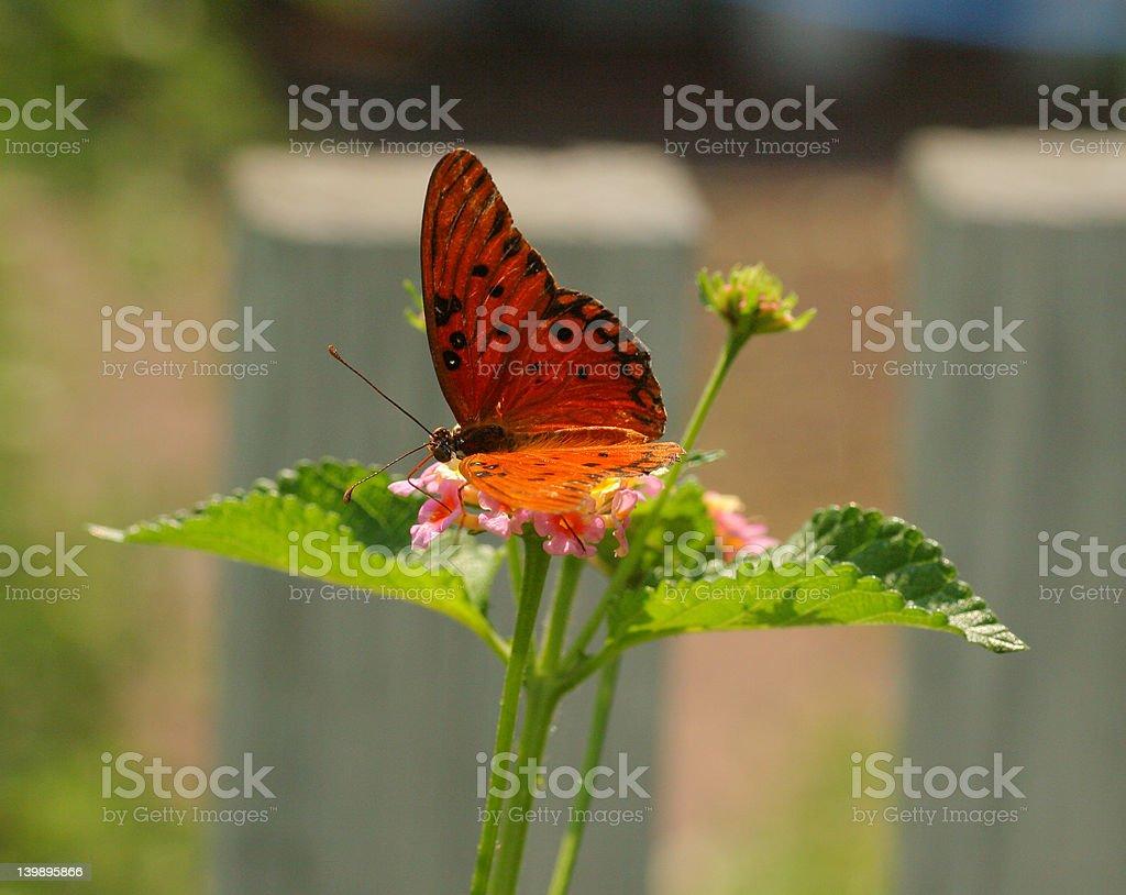 Mariposa del golfo en flor foto de stock libre de derechos