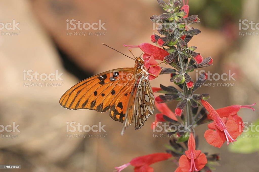 Mariposa del golfo en flor roja foto de stock libre de derechos