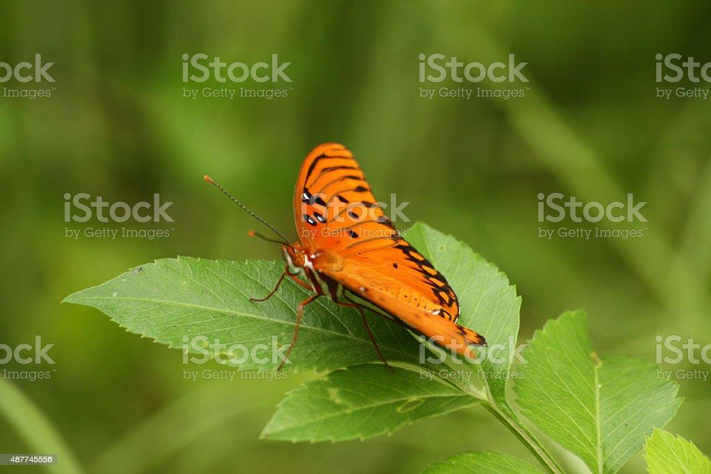 Gulf Papillon fritillaire photo libre de droits