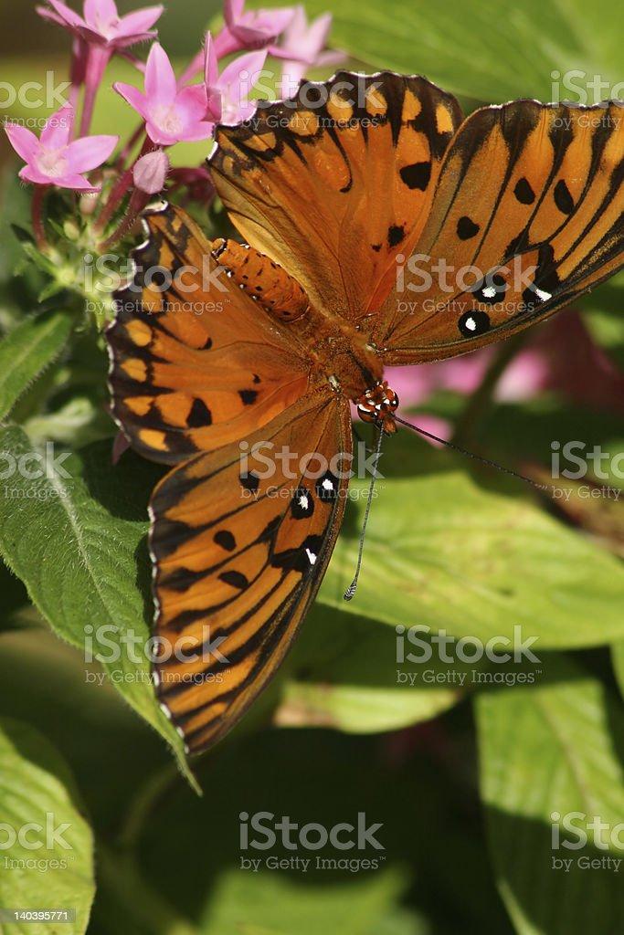 Mariposa del golfo con las alas abiertas en reposo foto de stock libre de derechos