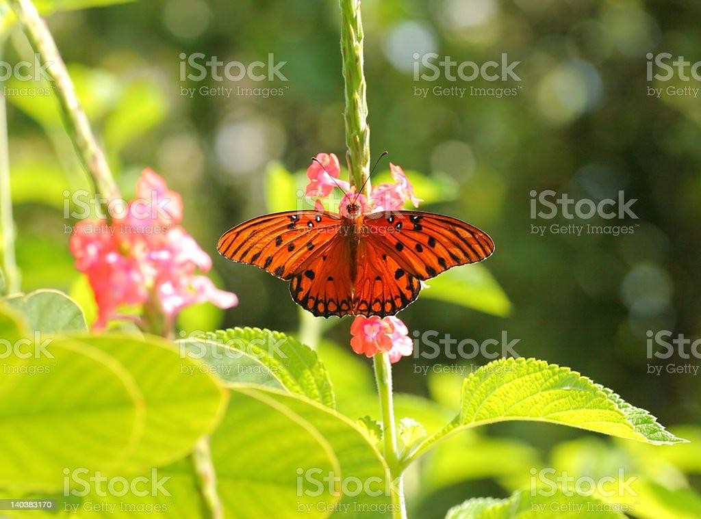 Hermosa mariposa del golfo, con retroiluminación foto de stock libre de derechos