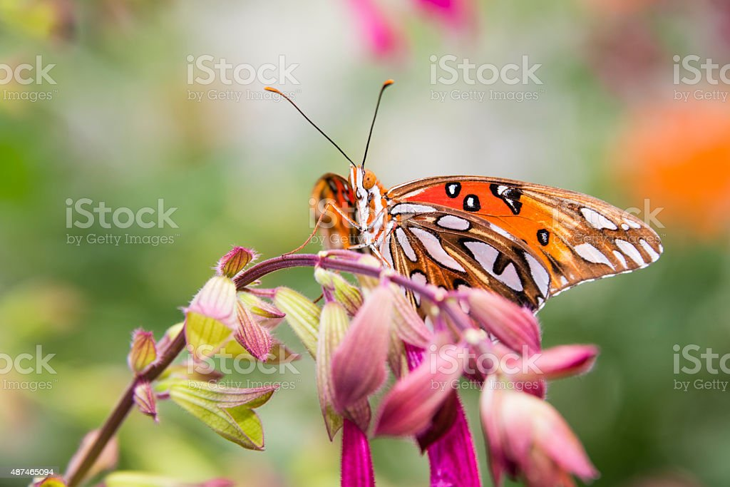 XXXL: Gulf fritillary or passion butterfly , Agraulis vanillae stock photo