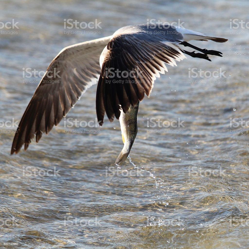 Gull and Fish stock photo