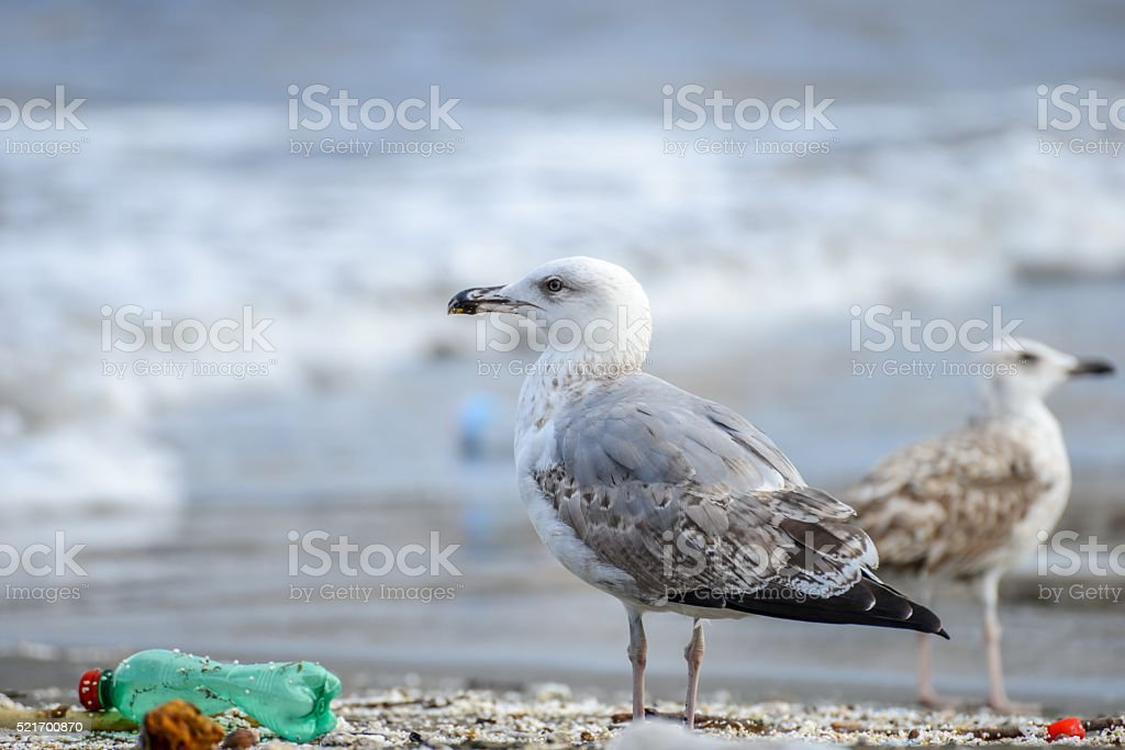 Gull between rubbish on beach at naples stock photo