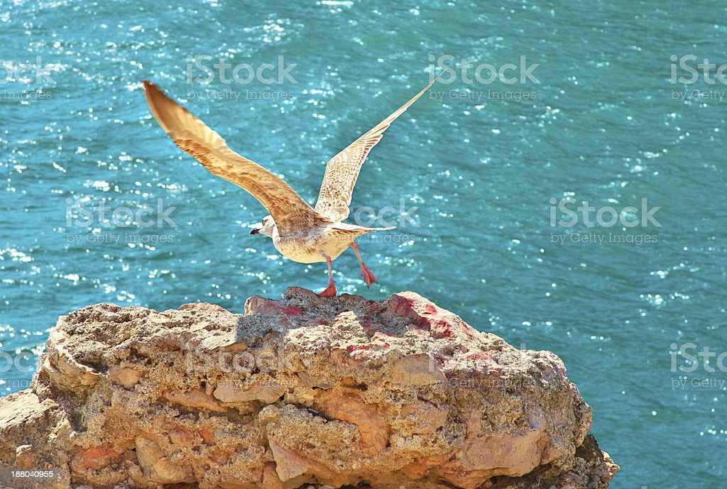 Gull Bird flying from rocky cliff outdoor royalty-free stock photo