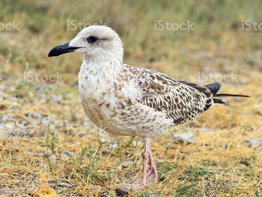 Gull Bird standing on grass outdoor close-up wild nature royalty-free stock photo