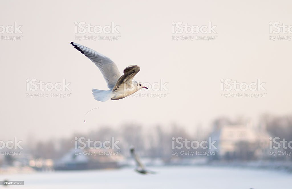 Gull defecating in winter fly stock photo