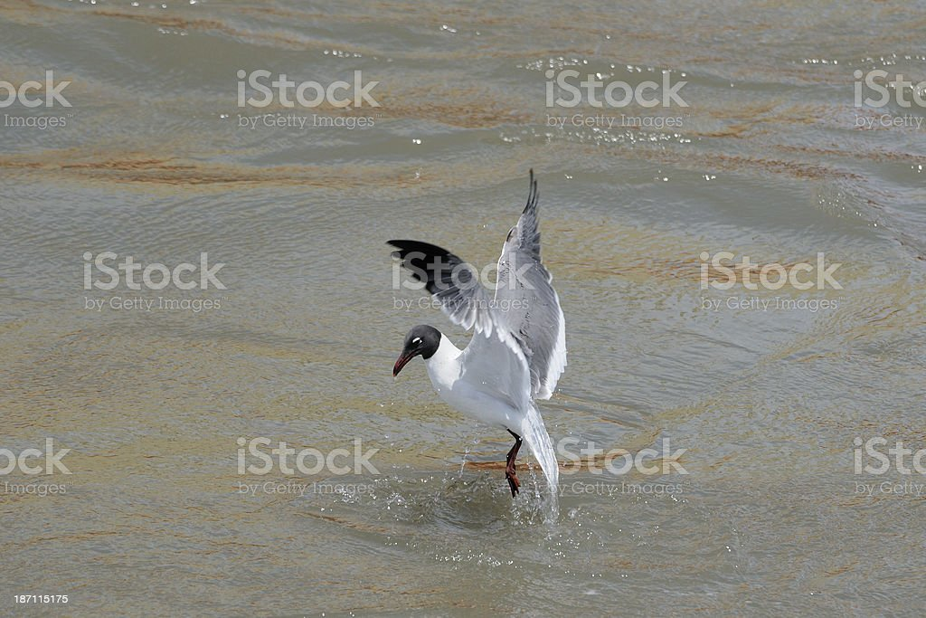 Gull dives in oil slick royalty-free stock photo