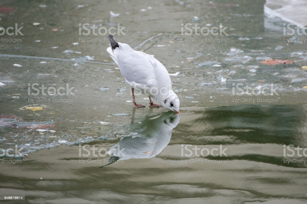 Gull drinking stock photo