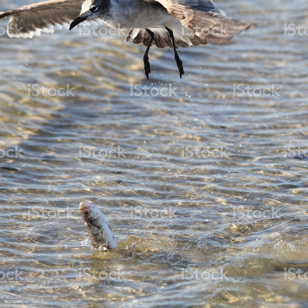 Gull Dropping Fish into Water stock photo