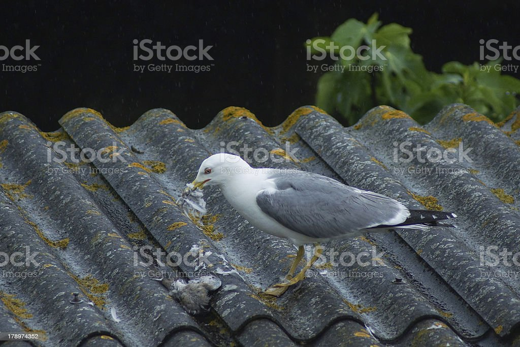 Gull eating turtledove stock photo
