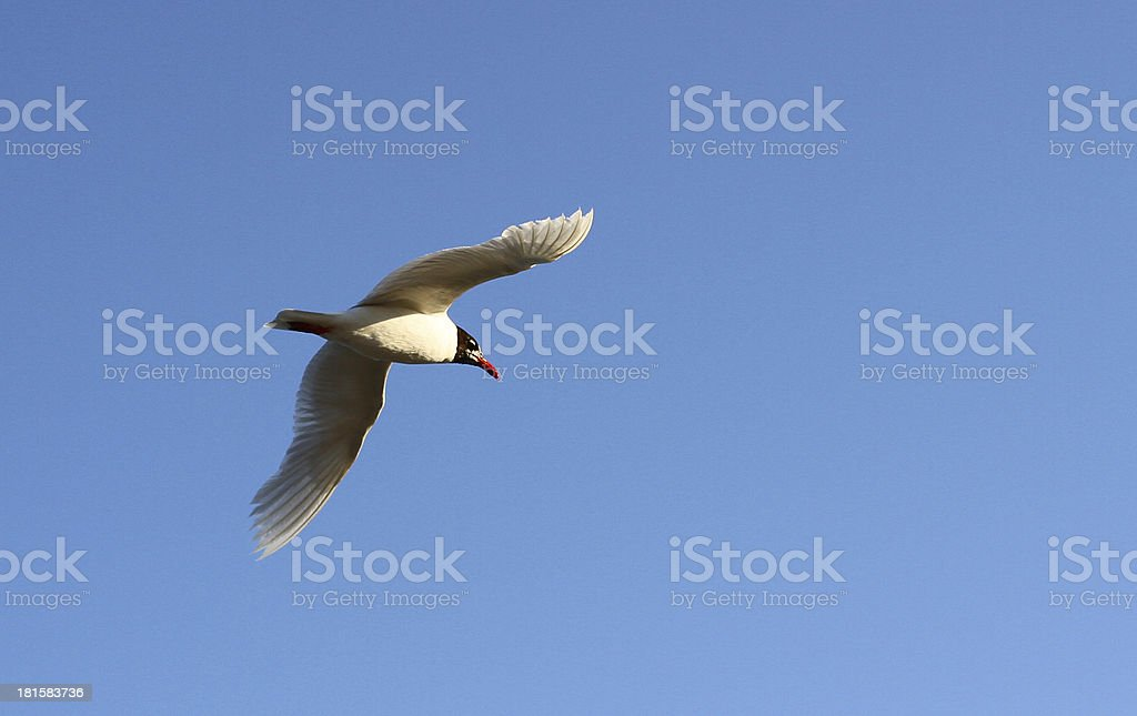 Gull flies high in the sky blue to distant lands stock photo