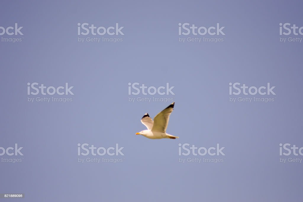 Gull fly in the blue sky stock photo