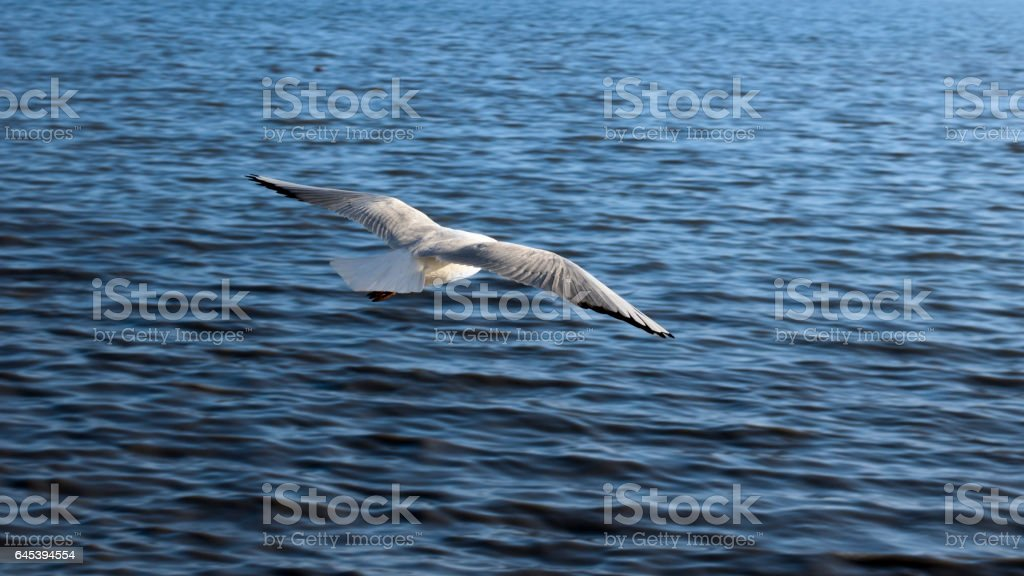 Gull flying on the Sea stock photo