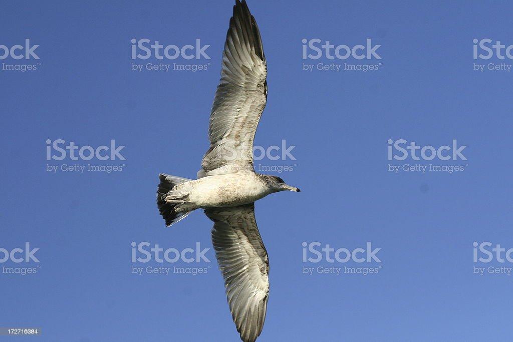 Gull Flying stock photo