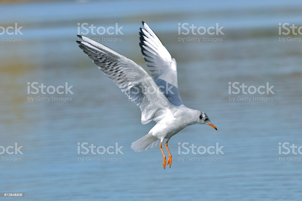 Gull flying stock photo