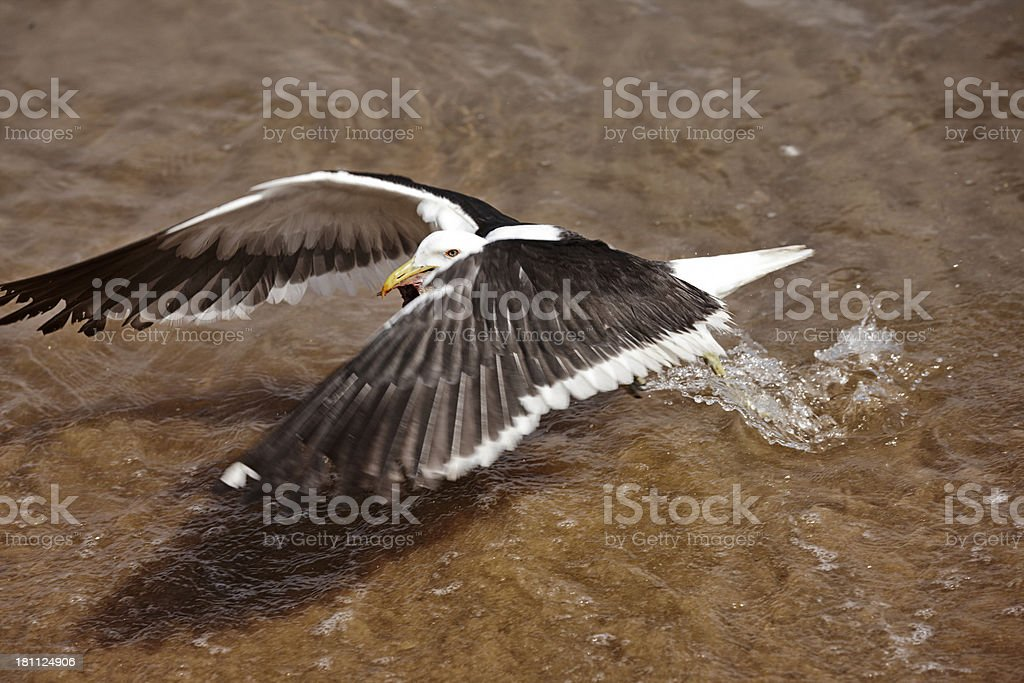 Gull flying taking off from sea royalty-free stock photo