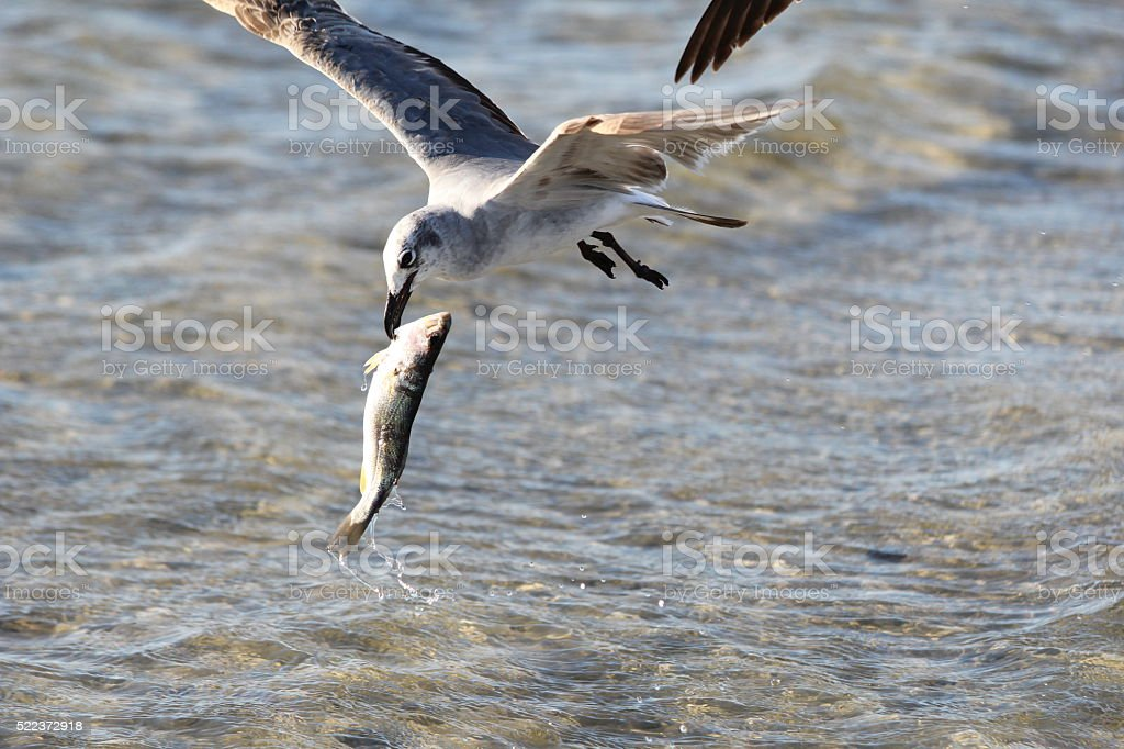 Gull Flying with Fish stock photo