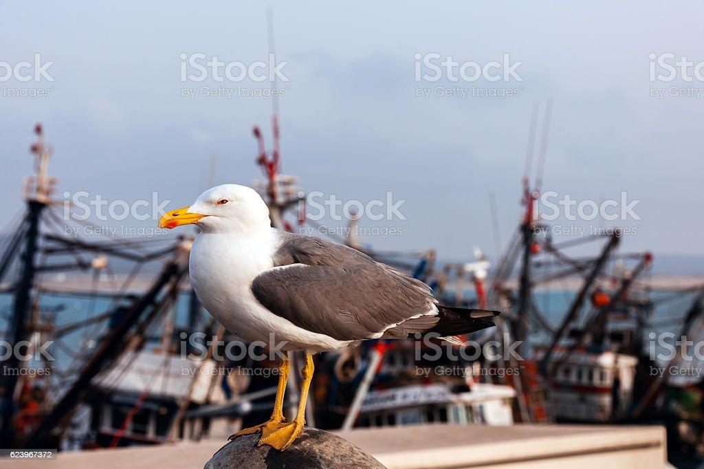 Gull in fishing nets behind fishing boats, Essaouira,Morocco Africa stock photo