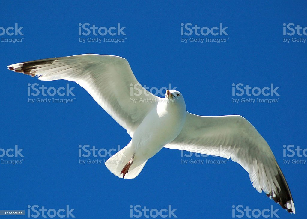 Gull in flight royalty-free stock photo