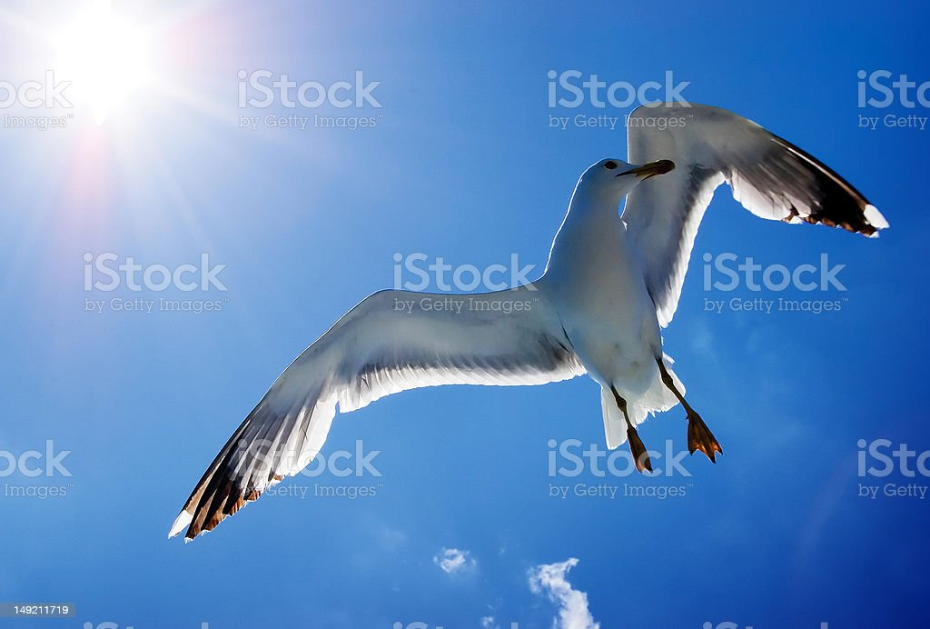 Gull in the sky royalty-free stock photo