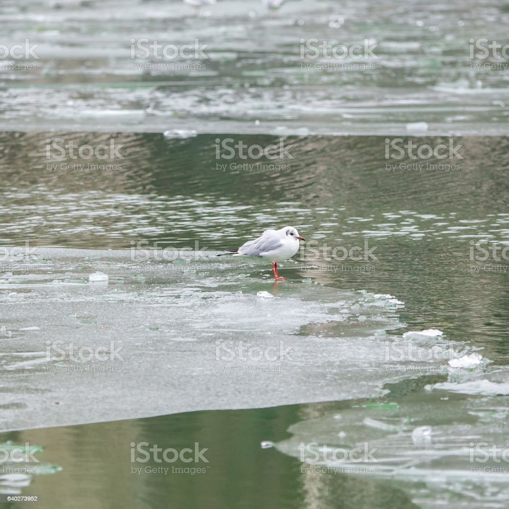 Gull in winter stock photo