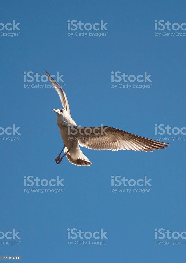 Gull on a blue sky royalty-free stock photo
