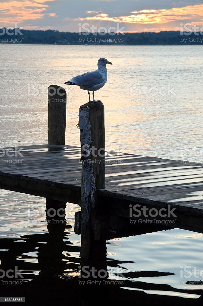 Gull on a Post royalty-free stock photo