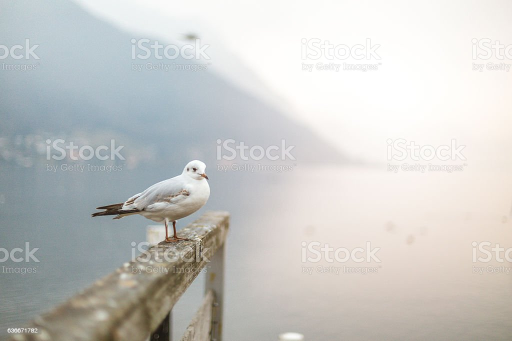 gull on the fence stock photo