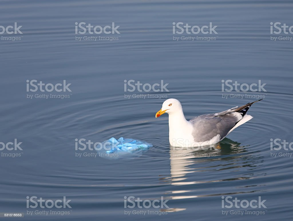 Gull on the sea near a bag of rubbish stock photo