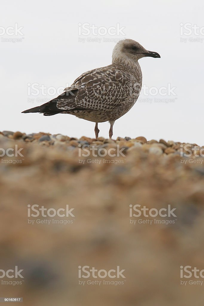 Gull onThe Skyline royalty-free stock photo